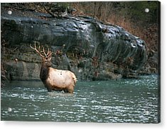 Acrylic Print featuring the photograph Bull Elk Crossing The Buffalo River by Michael Dougherty