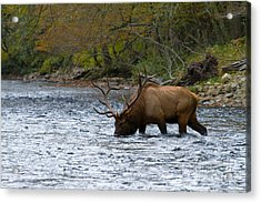 Bull Elk Crossing The River Acrylic Print