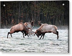 Bull Elk Fighting In Boxley Valley Acrylic Print