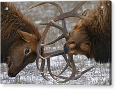 Bull Elk In The Rut-signed Acrylic Print