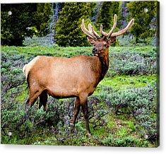 Bull Elk Acrylic Print
