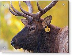 Bull Elk Number 10 Acrylic Print