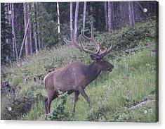 Bull Elk Rocky Mountain Np Co Acrylic Print