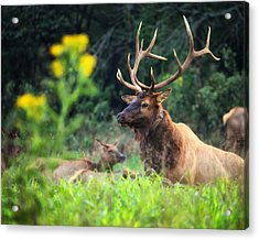 Acrylic Print featuring the photograph Bull Elk Rutting In Boxley Valley by Michael Dougherty