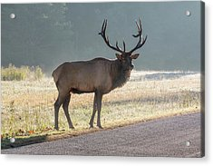 Acrylic Print featuring the photograph Bull Elk Watching by D K Wall