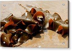 Bull Kelp Acrylic Print