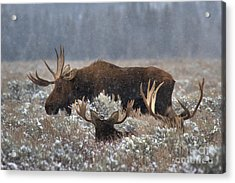 Acrylic Print featuring the photograph Bull Moose In The Snowy Meadow by Adam Jewell