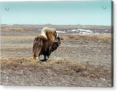 Bull Musk Ox Acrylic Print by Anthony Jones