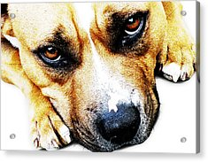 Bull Terrier Eyes Acrylic Print by Michael Tompsett