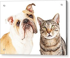 Bulldog And Tabby Cat Close-up Acrylic Print by Susan Schmitz