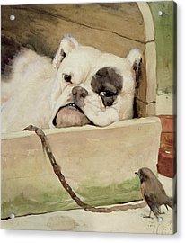 Bulldog Acrylic Print by Cecil Charles Windsor Aldin