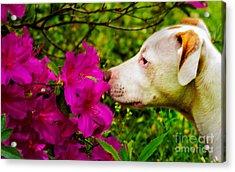 Bulldog Flowers Acrylic Print