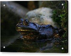 Bullfrog 1 Acrylic Print