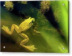 Bullfrog In A Pond Acrylic Print
