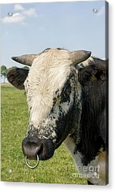 Bull's Head With Ring Acrylic Print