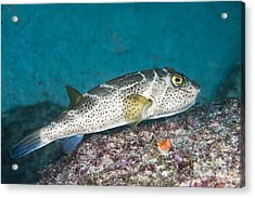 Bullseye Puffer - Galapagos Acrylic Print by Dave Fleetham - Printscapes
