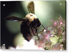 Bumblbee Bzzz Acrylic Print by Curtis J Neeley Jr