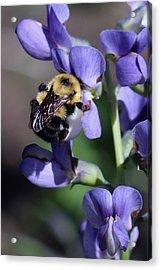 Bumble Bee, Blue Indigo Acrylic Print