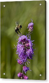Bumble Bee Dance 8210 Acrylic Print