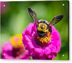 Bumble Bee Macro Image Acrylic Print