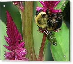 Bumble Bee  Acrylic Print by Martin Morehead