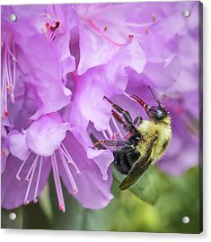 Bumble Bee On Rhododendron Acrylic Print by Jim Hughes