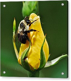 Bumble Bee On Rose  Acrylic Print by Michael Peychich