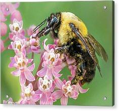 Bumble Bee On Milkweed Acrylic Print by Jim Hughes