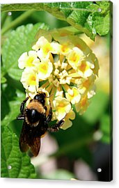 Bumble Bee On Yellow Flowers Acrylic Print