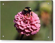 Bumble Bee On Zinnia 2649 Acrylic Print