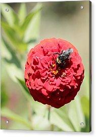 Bumble Bee On Zinnia Acrylic Print