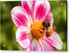 Bumble Bee Pollination Acrylic Print