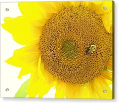 Bumble Bee Sunflower Acrylic Print