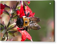 Acrylic Print featuring the photograph Bumble Bee by Willard Killough III