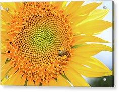 Bumble Bee With Pollen Sacs Acrylic Print