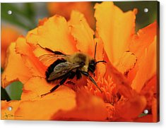 Bumble Orange Acrylic Print