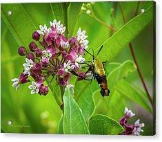 Bumblebee Moth 153 Acrylic Print