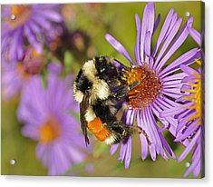 Bumblebee On Aster Acrylic Print by Gerald Hiam