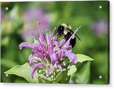 Bumblebee On Bee Balm Acrylic Print