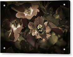 Bumblebee On Blush Country Rose In Sepia Tones Acrylic Print