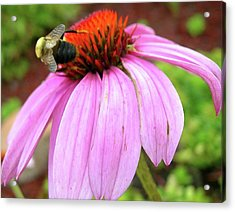 Acrylic Print featuring the photograph Bumblebee On Coneflower by Randy Rosenberger
