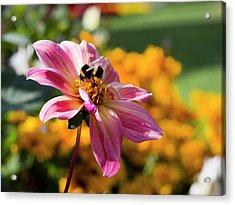 Bumblebee On Orange Acrylic Print