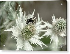 Bumblebee On Thistle Flower Acrylic Print