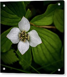 Acrylic Print featuring the photograph Bunchberry Dogwood On Gloomy Day by Darcy Michaelchuk