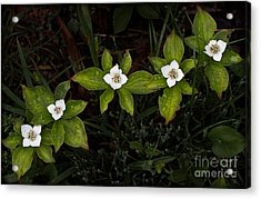 Bunchberry Flowers Acrylic Print