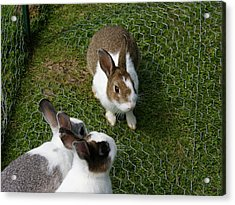 Bunnies Acrylic Print by Lisa Hebert
