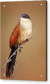 Burchell's Coucal - Rainbird Acrylic Print