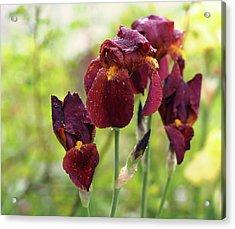 Burgundy Bearded Irises In The Rain Acrylic Print