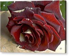 Burgundy Rose Acrylic Print by Svetlana Sewell