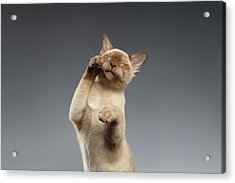 Burma Cat Paws Snout Covers On Gray Acrylic Print